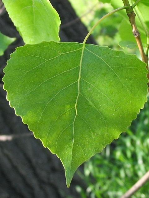 устойчивости Российский листок зеленый для меня возьми у тополя самого раннего